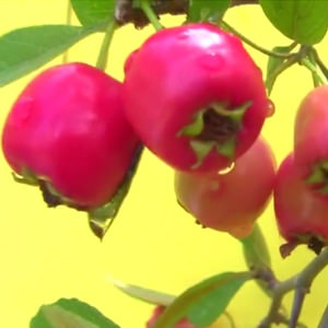 "The Red Star Mayhaw Tree fruit begins to ripen in May and is used to make ""The World's Best Jelly"""