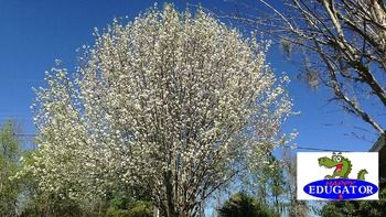 This is a high quality photo of a Bradford Pear tree in bloom. My husband and I take all our own photos. This tree is in our front yard. The image is 300 dpi, fit to 4 x 6 inches. This Bradford Pear tree dollar stock photo is available in my flowers bundle set 1.