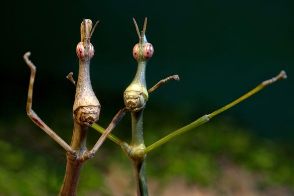 Photographer Yvonne Spane took these fabulous pictures of Horsehead grasshoppers - aren't they fantastically odd??