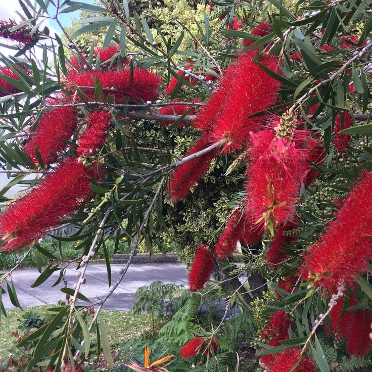 Bottle Brush 23/8/15 Beaconsfield WA