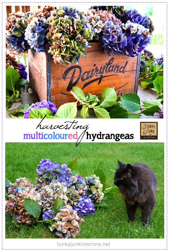 How to harvest and dry hydrangeas to achieve beautiful multicolors.