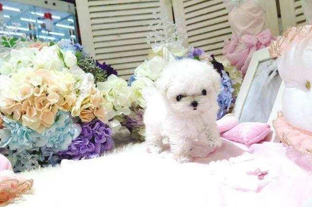 Cute Maltese Puppies For Adoption Boise Maltese Puppy Puppy Adoption Maltese