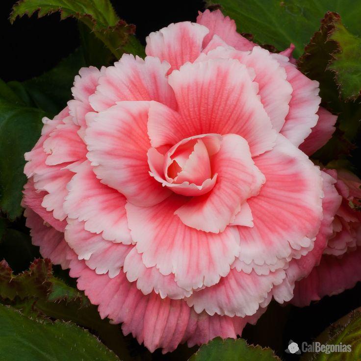 AmeriHybrid Pink Picotee Lace Begonia