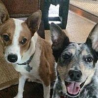 Houston, Texas - Australian Cattle Dog. Meet Chevy, a for adoption. https://www.adoptapet.com/pet/10615010-houston-texas-australian-cattle-dog