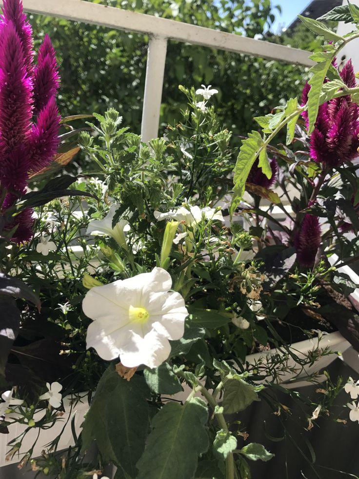 Känslan av att ha färgglada och blommande växter så rogivande! Jag har även en tomatplanta som jag kämpar med! Än har där inte kommit några tomater men blommorna blommar för fullt :) / …