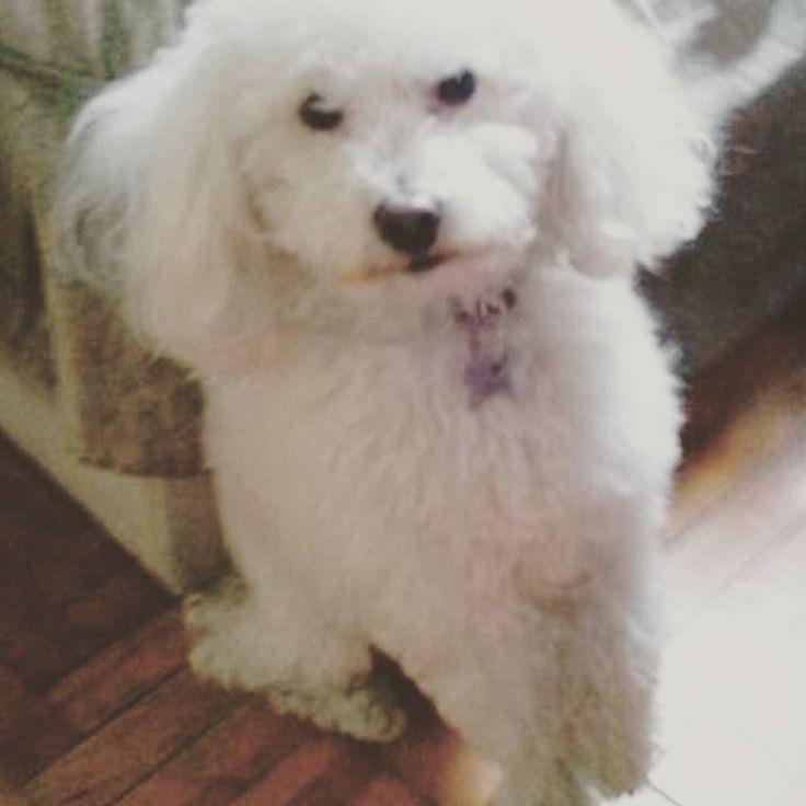 """""""El es mi perro Roko! Lo amo y lo tengo hace mucho. Es mi primer perro y antes era gordo. Le tiene miedo a las escobas por que antes le pegaban. Y ahora que tiene familia que la ama esta feliz! El es amigo de Blacky un perrito de mi mejor amiga que publicaste. El es muy juguetón cariñoso y gruñón . Lo amo! """" Enviada por su amiga fiel @luliloca2004!  #perrosdeargentina #vsco #vscocam #dogstagram #perrosdeinstagram #perro #cute #pets #happy #mascota #amigofiel #dog #perro #instadog…"""