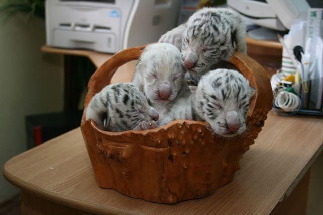 ALLPE Medio Ambiente Blog Medioambiente.org : Tres tigres blancos y uno albino (y su madre)