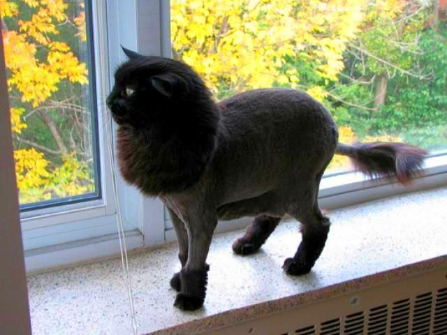 47 best cat grooming images on pinterest cat grooming cats and 50 cats with lion haircuts winobraniefo Images