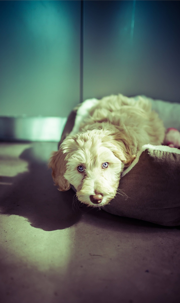 best goldendoodle images on pinterest animals dog cats and pets