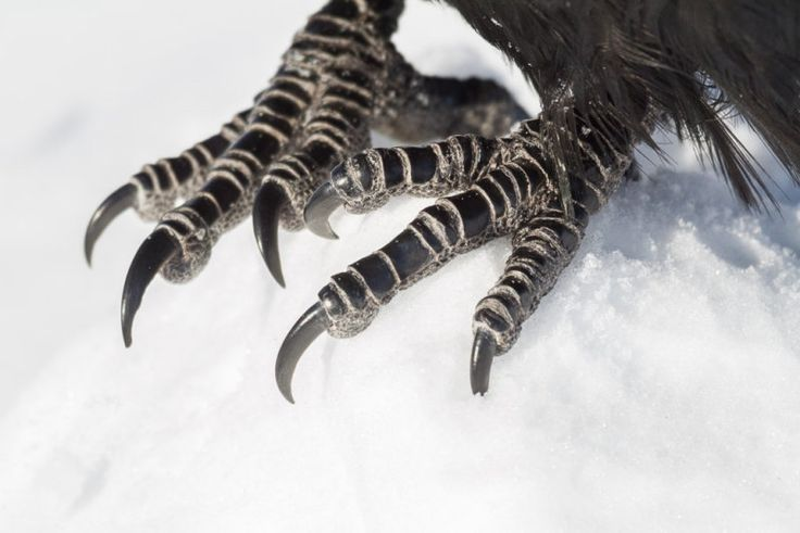 raven feet images - Google Search