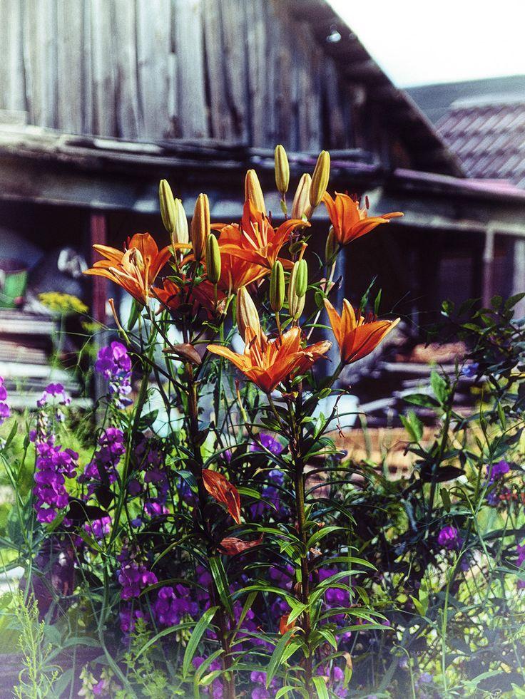#Flowers #village #photomira #photoirinamaysova