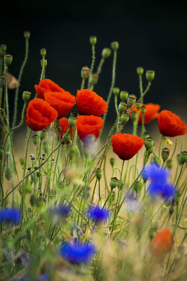 Red Poppies - Red Flowers