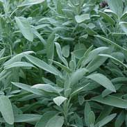 Sage - Used for self purification and dealing with grief & loss. Carried to improve mental ability and bring wisdom. Used in healing sachets & incense. Promotes spiritual, mental, emotional & physical health and longevity. Removes negative energy. Place near a personal object of a person who is ailing when performing healing spells or rituals. Burn to banish negative spirit energy.