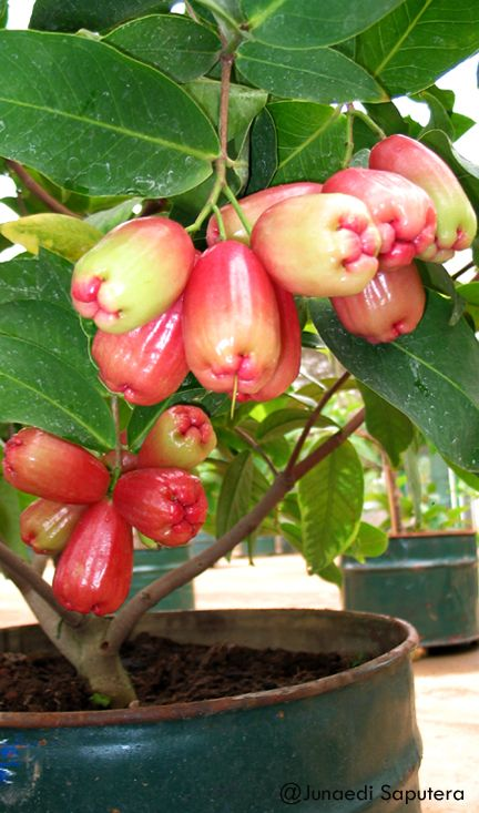 Jambu Air Irung Petruk/Noise Puppet Wax Apple (Syzygium samarangense) Collection Taman Buah mekarsari