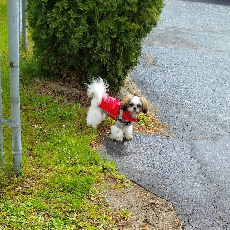 It's raining cats and dogs.. So be careful.. You might step in a poodle!! Hahaha oh i love my shih tzu pup