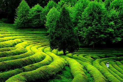 Green Tea Field, South Korea  photo via noseatbelts