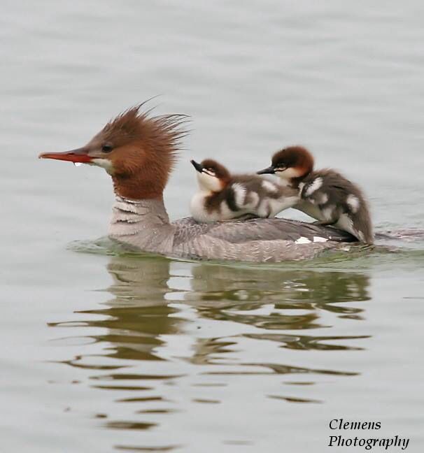 Common merganser with chicks.  This photograph is beautiful!  We see common mergansers a lot in Elk Lake outside of Bend Or