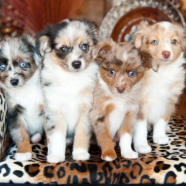 Toy Australian Shepherd breeder for all of Utah - Salt Lake City, Provo, Orem, Cottonwood Heights, North Salt Lake, Sandy, West Valley City, and more!