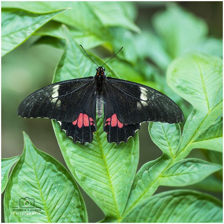 Red and Black Butterfly, Photo by Monika Lauber