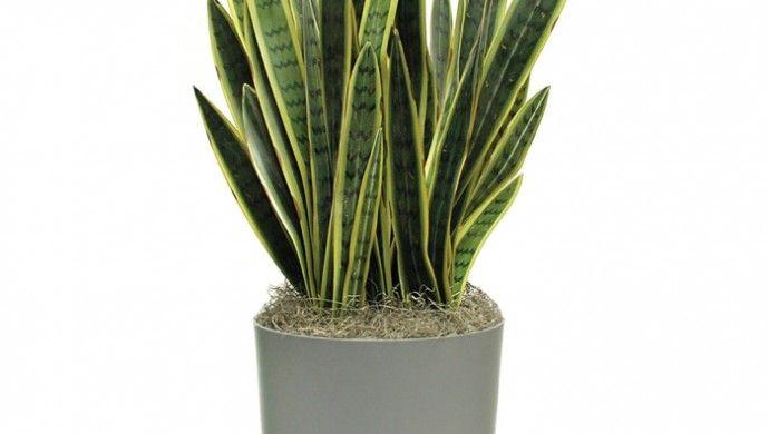 bogenhanf zimmerpflanzen schattig schattenpflanzen