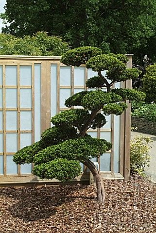 # Japanese #Cloud #Tree   TAXUS CUSPIDATA...cloud pruned :)