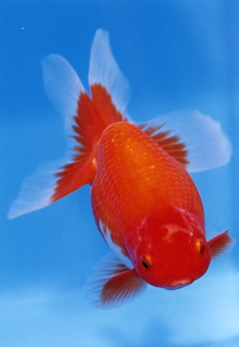 179 best images about goldfish koi on pinterest for Tropical fish pond