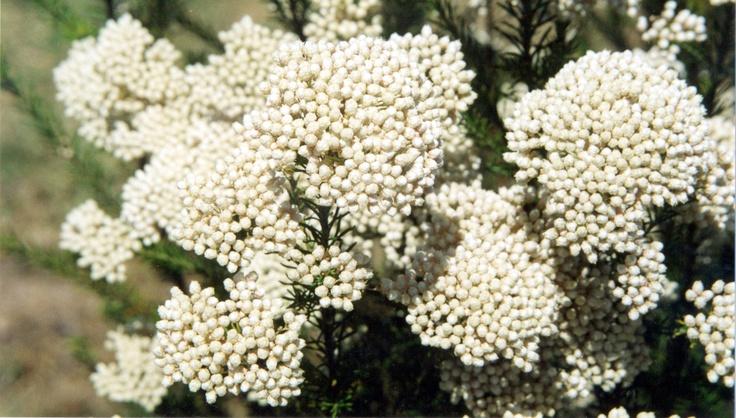 The Australian Rice Flower, Ozothamnus 'Winter White'  www.aussiewinners.com.au