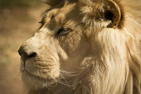 Lion. Visit the Warsaw zoo and admire the beautiful animals and the beauty of nature with your kids.