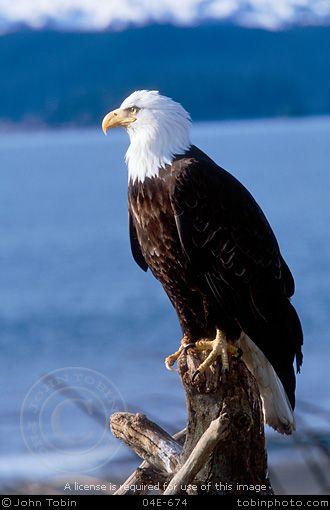 Bald Eagle - so magestic