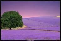 Tansmania lavender farm in Oz