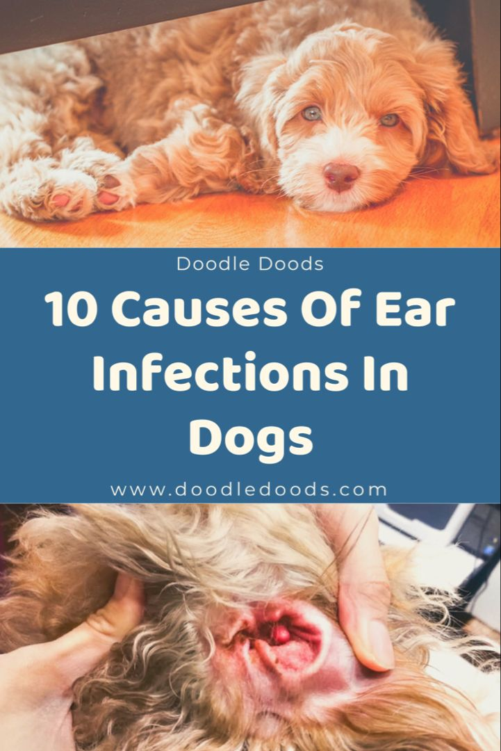 Dog Ear Infection In Dogs Causes Of Ear Infections In Dogs Doodle Doods Dogs Ears Infection Dog Ear Infection Treatment Dog Ear