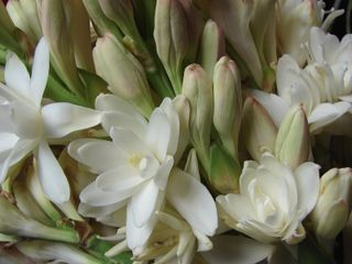 Tuberose...I had this flower as part of my bridal bouquet and I am trying to find it so I can grow it in my garden. Any ideas if it can grow in the Caribbean?