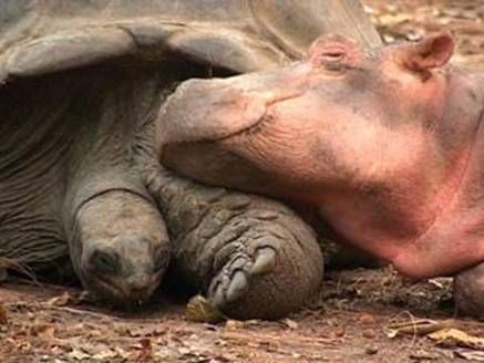 This baby hippo got swept away by a tsunami and a 100 year old tortoise became his new mommy...love is love.