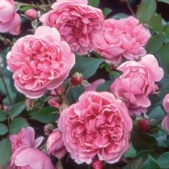 Sister Elizabeth - David Austin Roses