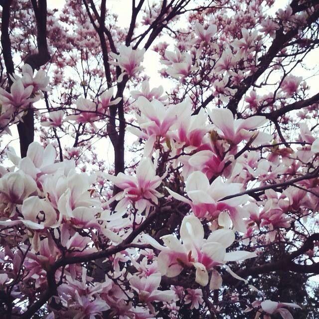 Magnolia #spring #beauty #nature #smallthingsmatter