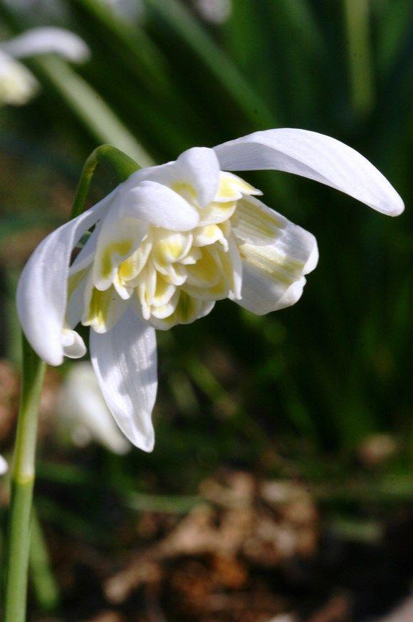 Galanthus Lady Elphinstone