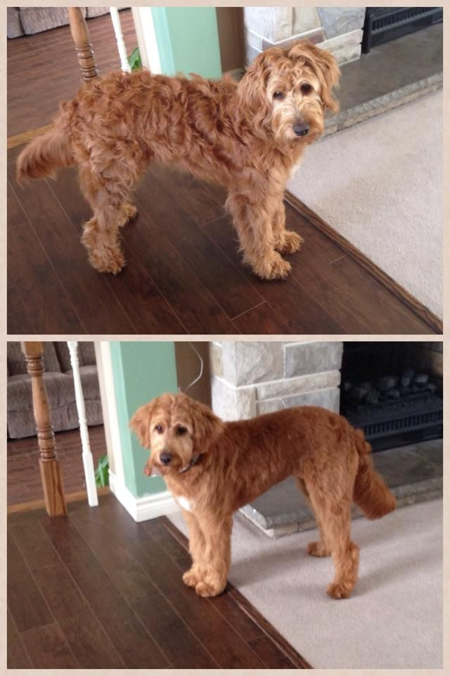 Cool Before And After Haircut Cute Goldendoodle