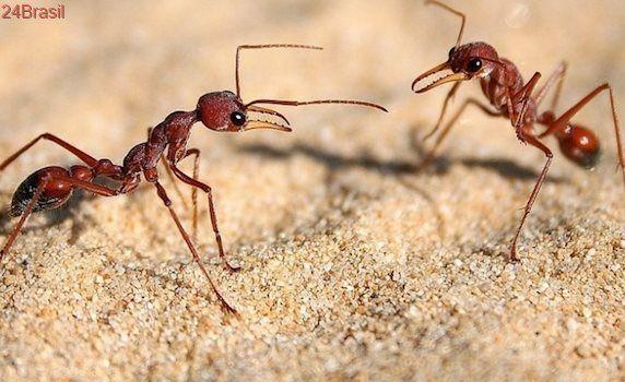 Está perdido? Pergunte a elas: Formigas têm GPS refinado e podem andar para trás, diz pesquisa