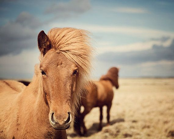 Cheval photographie, chevaux islandais, brun doré, Nature, pépinière Art, ciel bleu, Equine, vent Mane - Outlaws