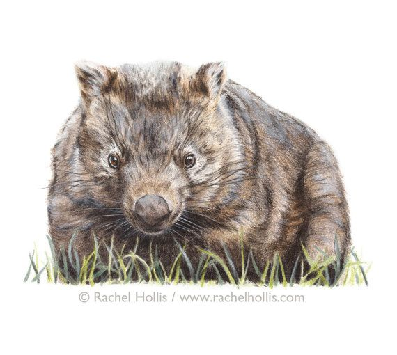Wombat Print 8x10 Australian Animal Print Australian Wildlife Art Wildlife Art Australian Wildlife Wombat