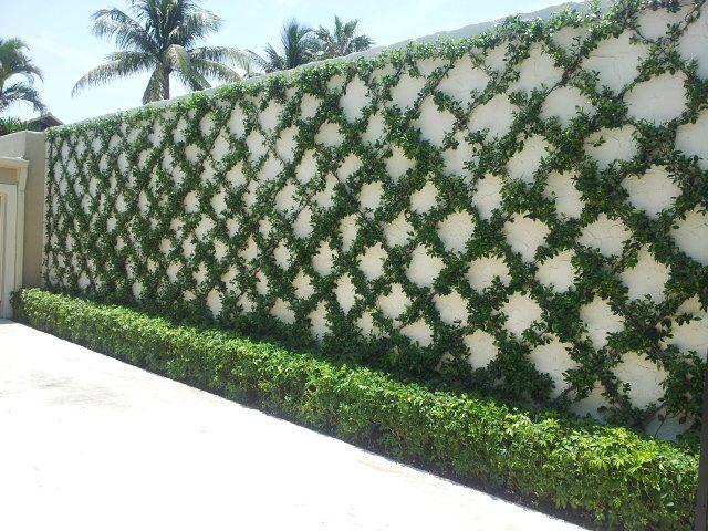 Confederate Jasmine #DiamondLandscaping #horticulture #gardendesign…