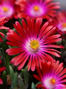Delosperma cooperi Garnet (Ice Plant)  Bright red flowers have an inner ring of sizzling hot pink. This rock garden favorite is prized for its exceptionally long bloom cycle. Transparent flakes resembling tiny pieces of ice cover the succulent foliage, hence the common name, Ice Plant. Delosperma are evergreen perennials in warmer climates. The foliage brings lushness to dry areas. Deer resistant; attracts butterflies and birds.  Learn more at: https://www.bluestoneperennials.com/DEGA.html