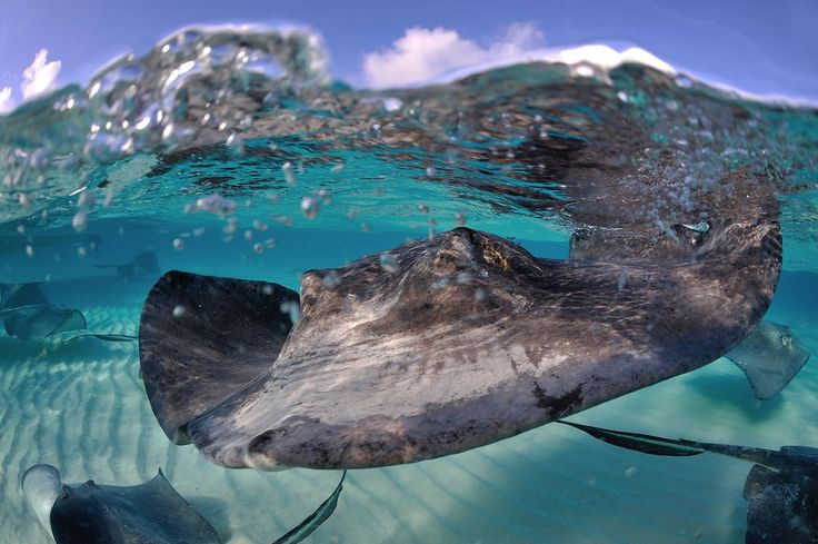Stingrays at the Sand Bar in Grand Cayman are extremely curious.
