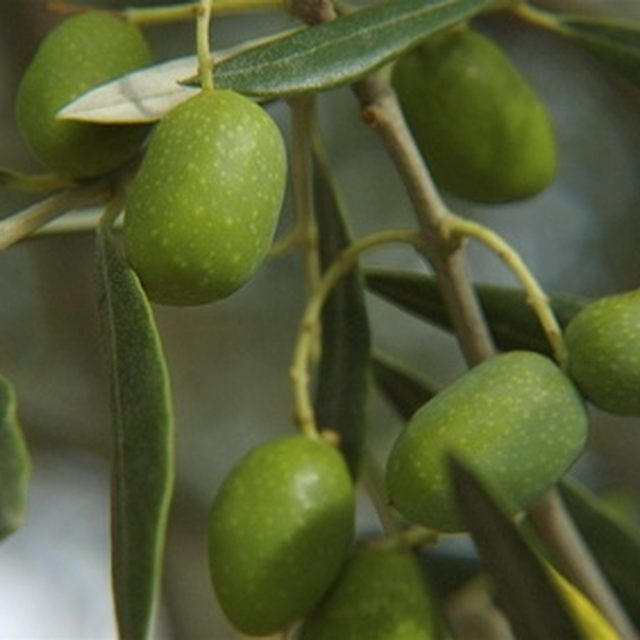 The 25 best trees in pots ideas on pinterest potted for Fertilizing olive trees in pots