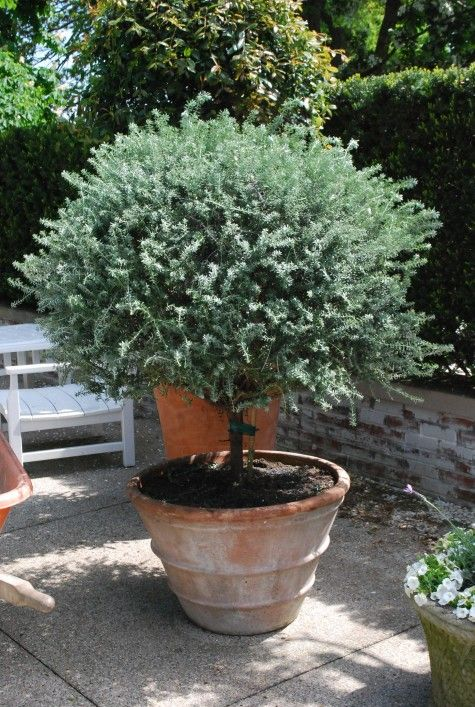 The 25+ Best Potted Trees Ideas On Pinterest | Indoor Lemon Tree, Lemon  Plant And Growing Vegetables