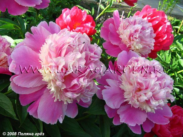 Купить пионы Cora Stubbs (Krekler, 1975), срок: M, форма цветка: Я-А, высота: 85, диаметр: 16