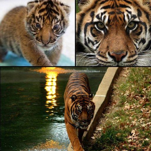 Sumatran Tiger Panthera tigris sumatrae one of the top 10 endangered species down to less than 400 & at risk due to poaching
