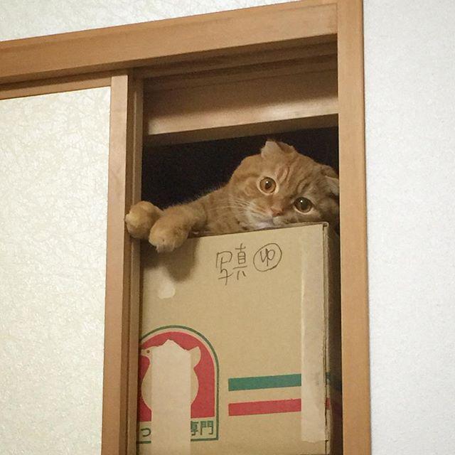 ・ 押入れからこんにちわ🙌💕 ・ ぼ〜く〜コ〜コ〜え〜も〜ん..にゃり〜😽💞 ・ 最近は気に入ったのかドラえもんみたいに押入れからみんなを観察👀❤️ ・ こんなココえもんをよろしくにゃ😽❣️ ・ どら焼きでも買って帰ろうかにゃ〜😹❣️笑 ・ #curepetcancer #scottishfold#ネコ#猫#愛猫#cat#スコティッシュフォールド#折れ耳#cats#catsofinstagram #instacat #ilovemycat #mycat #catlove #ペット依存#고양이#cat#animal#bestmeow#ペコねこ部#にゃんだふるらいふ#スコ#スコ座り#スコ部#kitty#レッドタビー#ふわもこ部#にゃんこ