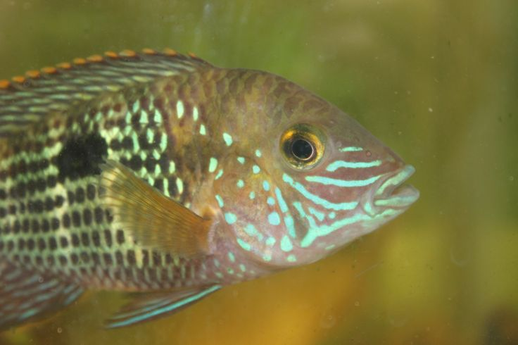 A beautiful Green-Terror cichlid; Inca.  As a species these fish really live up to their reputation, especially the females