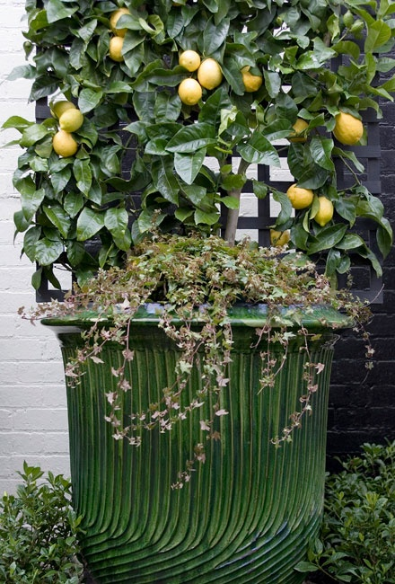 how to grow fig trees in containers vancouver bc